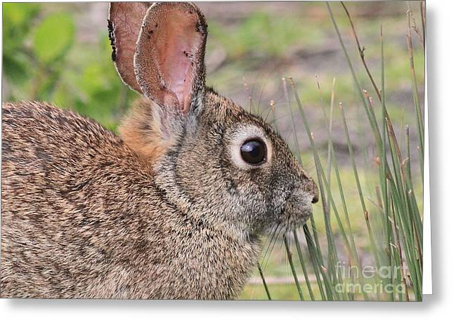 Jack Rabbit Greeting Cards - Rabbit Greeting Card by Wingsdomain Art and Photography