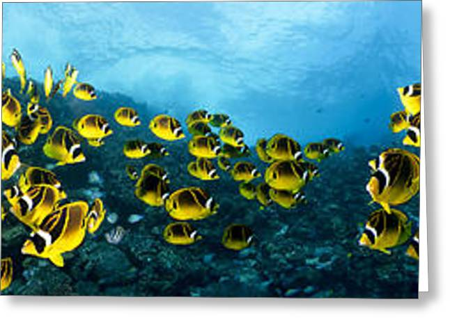 Ocean Panorama Greeting Cards - Raccoon Butterflyfish Panorama Greeting Card by Dave Fleetham - Printscapes