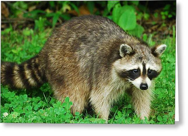 Turkey Run State Park Greeting Cards - Raccoon Greeting Card by Don Saxon