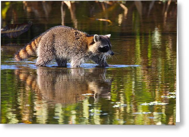 Raccoon Foraging  Greeting Card by Bruce J Robinson