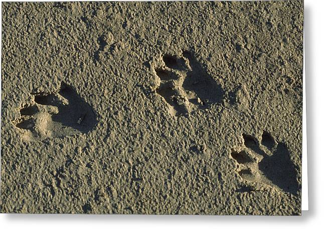 Animal Tracks Greeting Cards - Raccoon Tracks On Newly Dredged Mud Greeting Card by Tyrone Turner