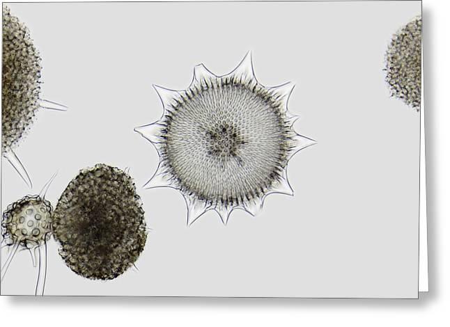 Radiolaria, Light Micrograph Greeting Card by Frank Fox