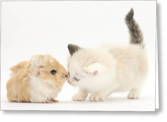 Cavy Greeting Cards - Ragdoll-cross Kitten And Baby Guinea Pig Greeting Card by Mark Taylor