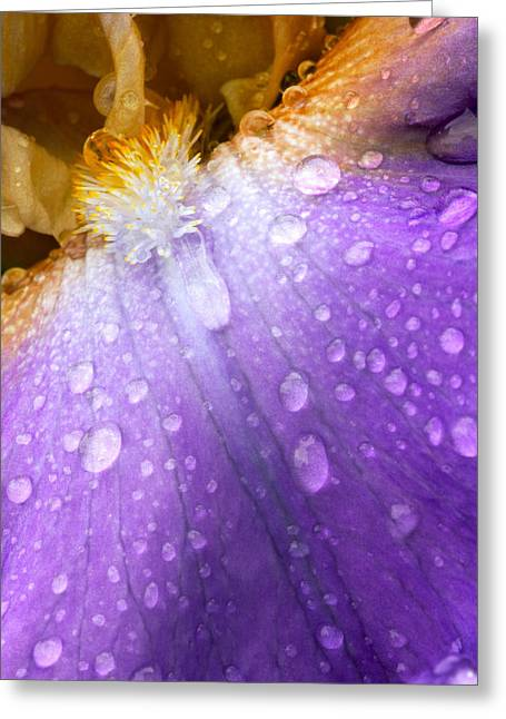 Domesticated Flower Greeting Cards - Rain Covered Iris Greeting Card by Amanda Kiplinger