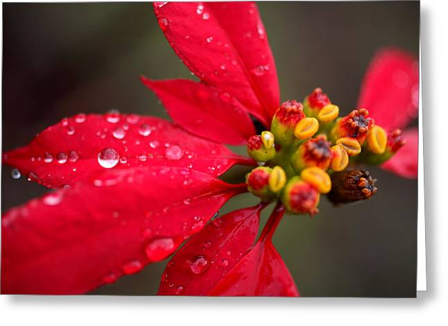Dewdrops Greeting Cards - Rain Drops On Red Poinsettia Plant Greeting Card by David Evans