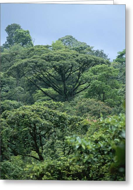 Forests And Forestry Greeting Cards - Rain Forest, Costa Rica Greeting Card by James P. Blair