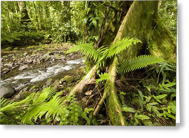 Micronesia Greeting Cards - Rain Forest View  Tree With Buttresses Greeting Card by Tim Laman