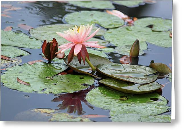 Lily Pad Greeting Cards Greeting Cards - Rain Lily Greeting Card by Suzanne Gaff