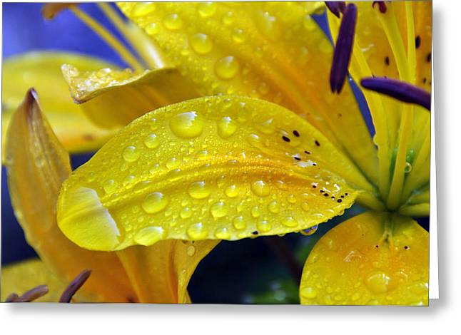 Dew Covered Flower Greeting Cards - Rain Spotted Yellow Lily I 2009 Greeting Card by Frank LaFerriere