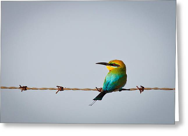 Australian Bees Greeting Cards - Rainbow bee-eater perched on wire Greeting Card by Johan Larson
