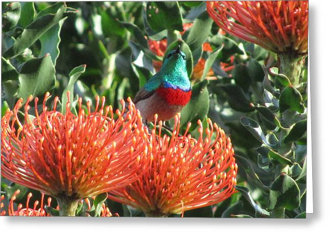 Sunbird Greeting Cards - Rainbow sunbird Greeting Card by Vijay Sharon Govender