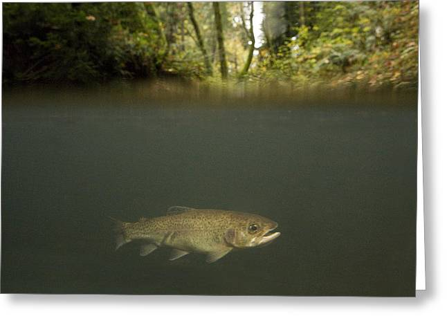 Rainbow Trout In Creek In Mixed Coast Greeting Card by Sebastian Kennerknecht