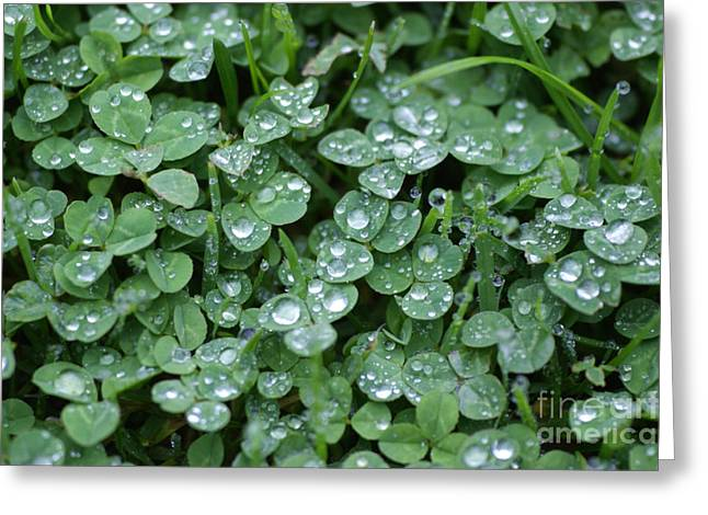 Wet Grass Greeting Cards - Raindrops clovers Greeting Card by Carol Lynch