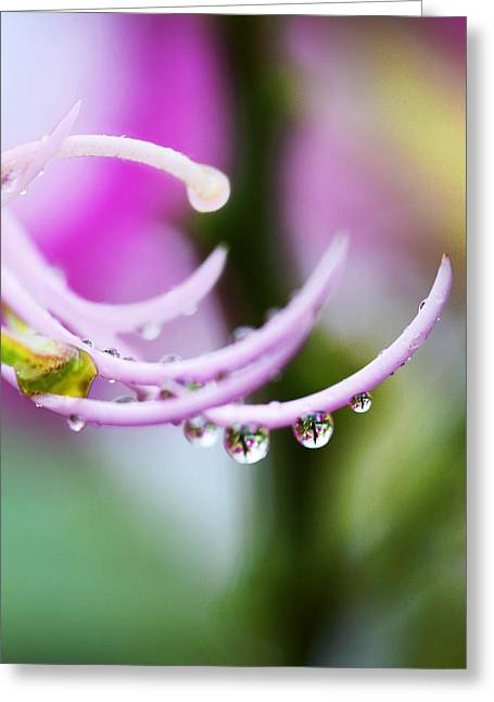 Hawaain Greeting Cards - Raindrops on Amherstia Nobilis Greeting Card by Marilyn Hunt