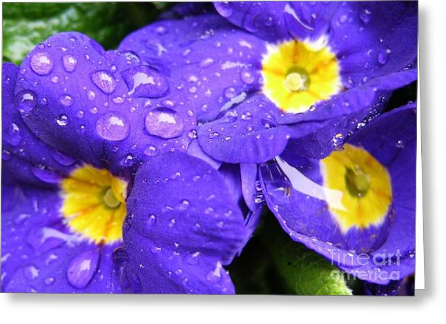 Primroses Greeting Cards - Raindrops on Blue Flowers Greeting Card by Carol Groenen