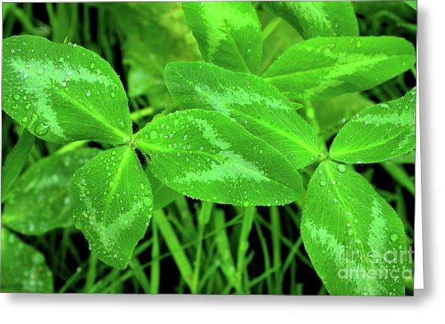 Three Leaves Greeting Cards - Raindrops on Clover Greeting Card by Thomas R Fletcher