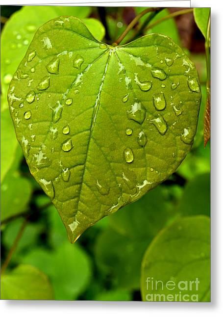 Cercis Greeting Cards - Raindrops on Eastern Redbud Leaf Greeting Card by Thomas R Fletcher