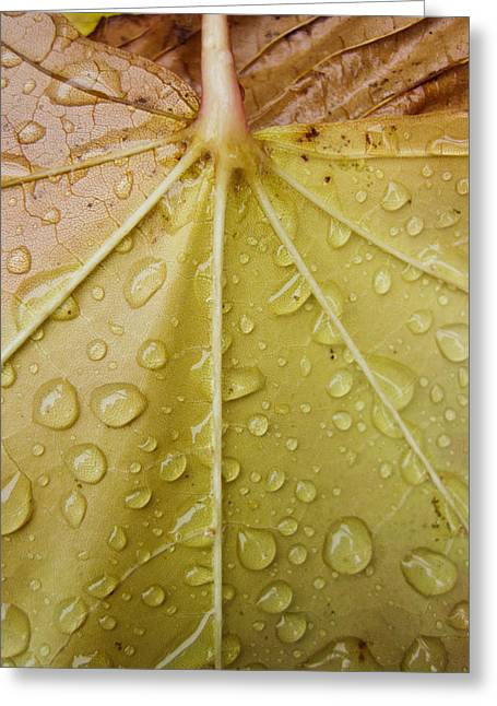 Yellow Leaves Pyrography Greeting Cards - Raindrops on leaf 2 Greeting Card by Robert  Perin