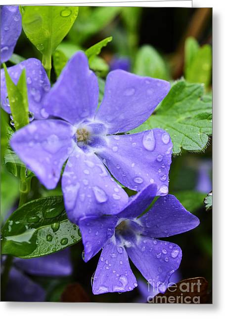 Vinca Greeting Cards - Raindrops on Trailing Myrtle Greeting Card by Thomas R Fletcher