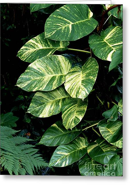 Puerto Rico Greeting Cards - Rainforest Green Greeting Card by Thomas R Fletcher