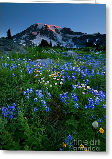 Anenome Greeting Cards - Rainier Wildflower Dawn Greeting Card by Mike  Dawson