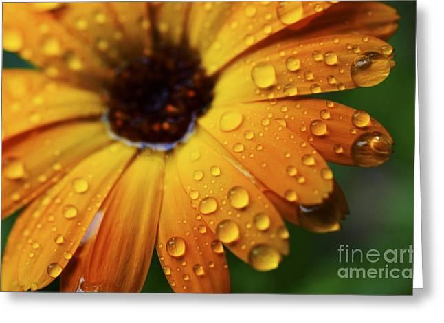 Rainy Day Daisy Greeting Card by Thomas R Fletcher