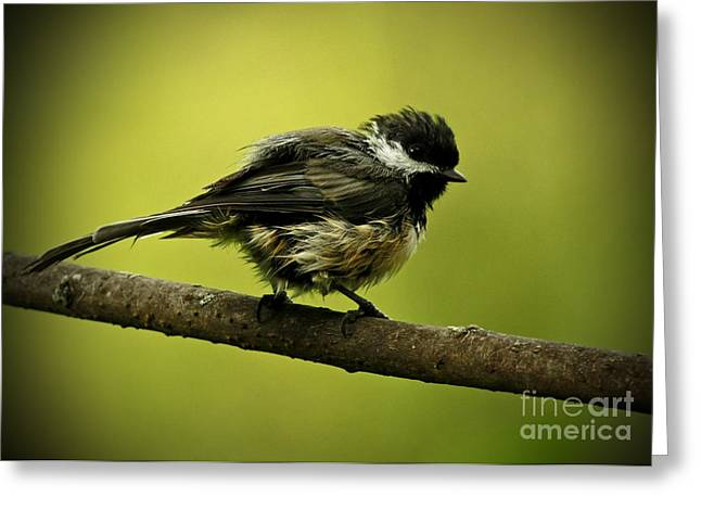 Shelley Myke Greeting Cards - Rainy Days - Chickadee Greeting Card by Inspired Nature Photography By Shelley Myke