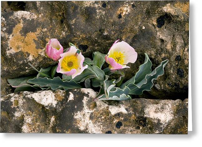 Cracked Stone Greeting Cards - Ranunculus Calandrinioides Greeting Card by Bob Gibbons
