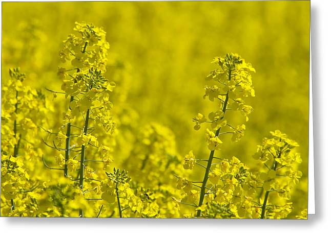 Oblong Greeting Cards - Rapeseed Blossoms Greeting Card by Melanie Viola