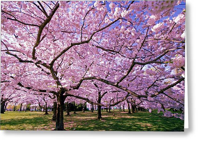 Cherry Blossoms Greeting Cards - Rapt Away Greeting Card by Mitch Cat