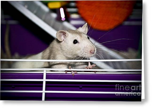 Gerbil Greeting Cards - Rat Man Greeting Card by Charrie Shockey