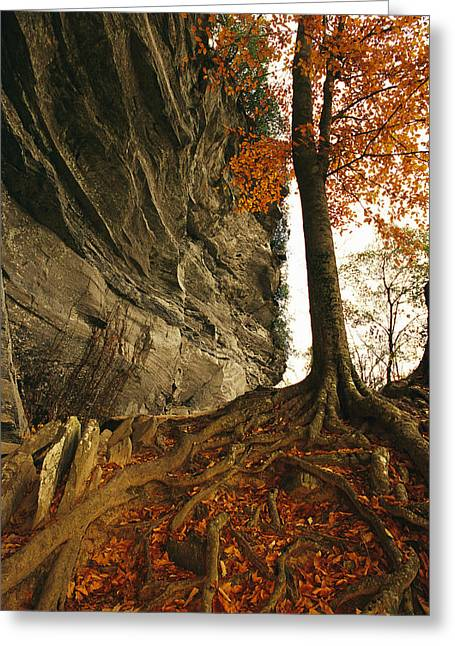 Tree Roots Greeting Cards - Raven Rock And Autumn Colored Beech Greeting Card by Raymond Gehman