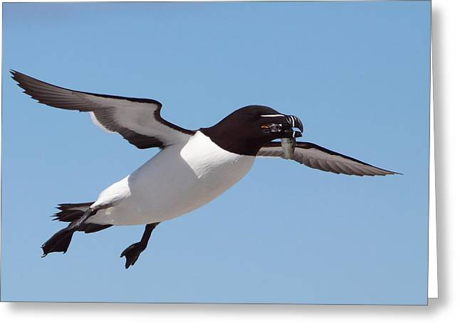 Razorbill In Flight Greeting Card by Bruce J Robinson
