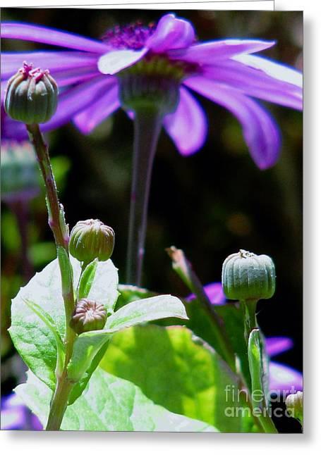 Pericallis Photographs Greeting Cards - Reaching For The Future Greeting Card by Rory Sagner