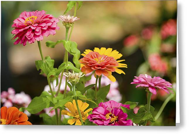 Zinnias Greeting Cards - Reaching for the Sun Greeting Card by Rich Franco