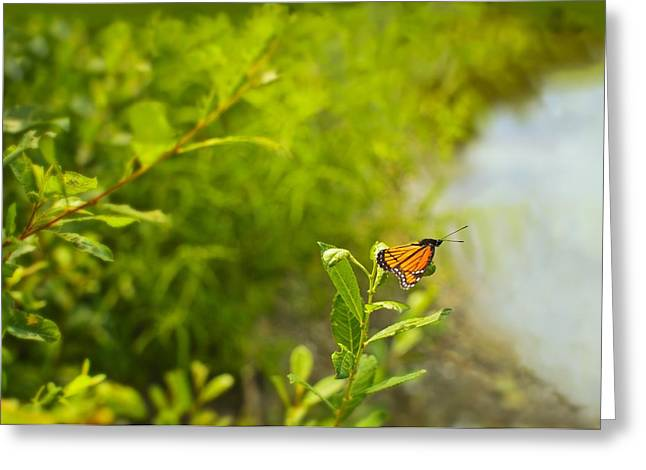 Close Focus Nature Scene Greeting Cards - Ready set go Viceroy Butterfly Greeting Card by Marianne Campolongo