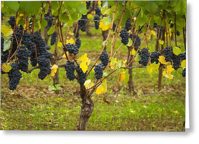 Blue Grapes Greeting Cards - Ready to pick Greeting Card by Jean Noren
