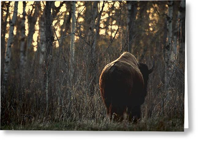 Worn In Greeting Cards - Rear View Of One Buffalo Greeting Card by Richard Wear