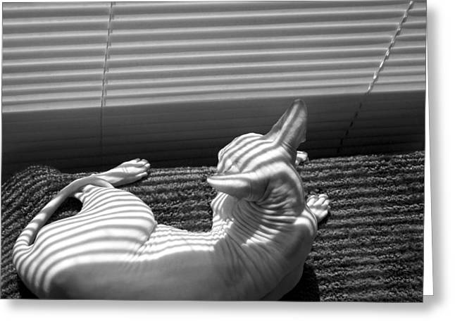 Sphynx Cat Portrait Greeting Cards - Reclining Sphynx Greeting Card by Glennis Siverson