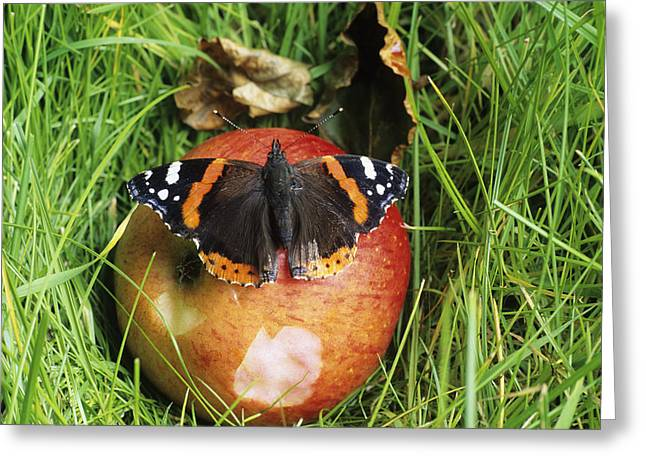 Best Sellers -  - Eating Entomology Greeting Cards - Red Admiral Butterfly Greeting Card by David Aubrey