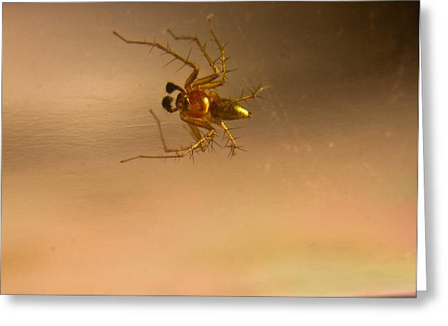 Golds Reds And Greens Greeting Cards - Red and gold spider Oxyopes lynx 1 Greeting Card by Douglas Barnett