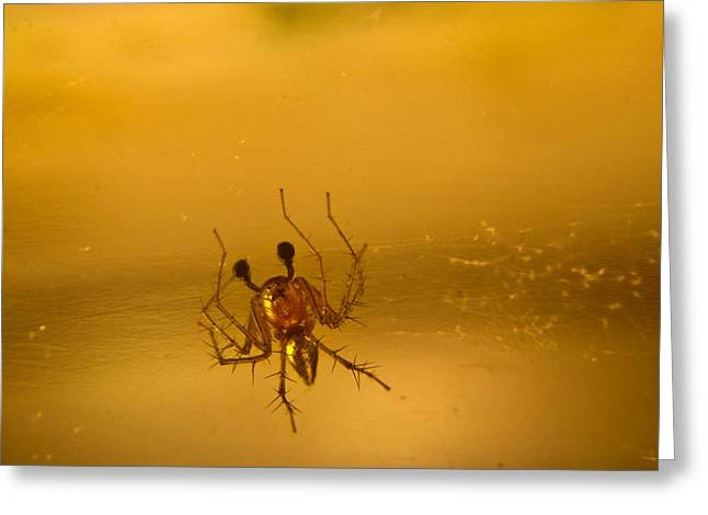 Golds Reds And Greens Greeting Cards - Red and gold spider Oxyopes lynx 10 Greeting Card by Douglas Barnett