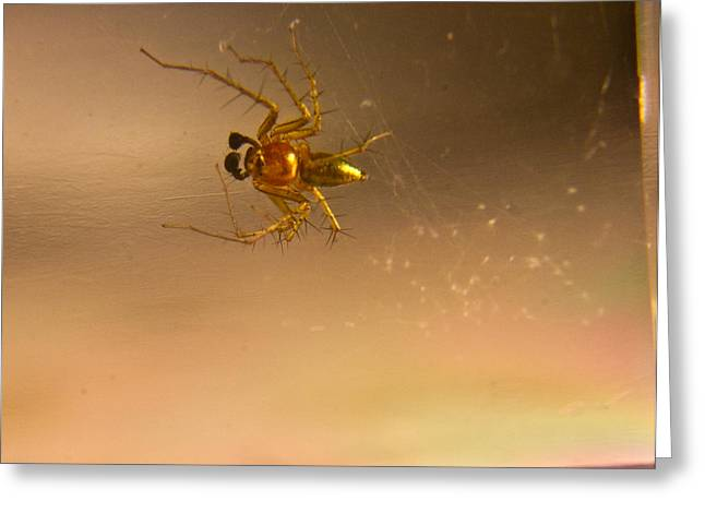 Golds Reds And Greens Greeting Cards - Red and gold spider Oxyopes lynx 2 Greeting Card by Douglas Barnett