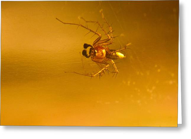 Golds Reds And Greens Greeting Cards - Red and gold spider Oxyopes lynx 4 Greeting Card by Douglas Barnett