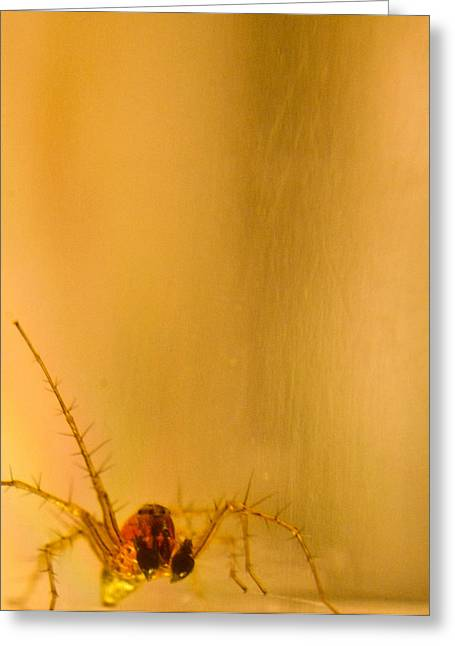 Golds Reds And Greens Greeting Cards - Red and gold spider Oxyopes lynx 7 Greeting Card by Douglas Barnett