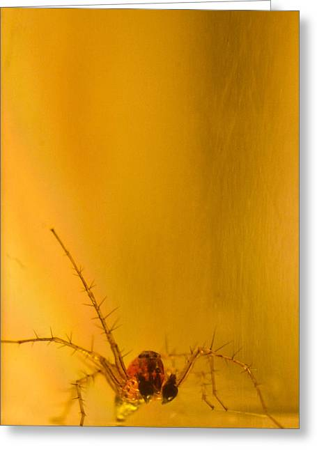 Golds Reds And Greens Greeting Cards - Red and gold spider Oxyopes lynx 8 Greeting Card by Douglas Barnett
