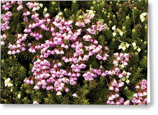 Dewdrops Greeting Cards - Red And White Mountain Heather Greeting Card by Bob Gibbons