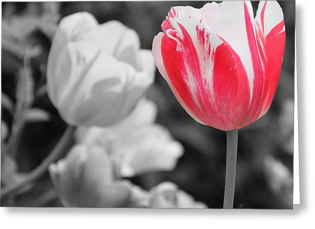 Becky Lodes Greeting Cards - Red and white tulip Greeting Card by Becky Lodes