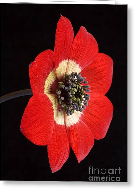 March Greeting Cards - Red Anemone Greeting Card by Richard Garvey-Williams