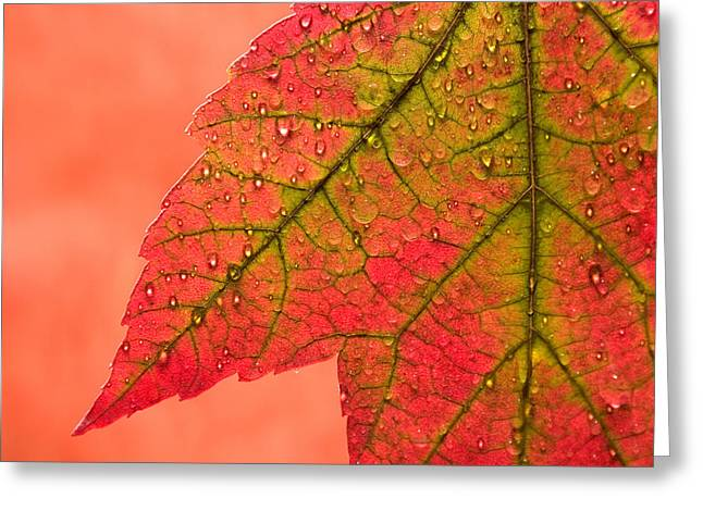 Crisp Greeting Cards - Red Autumn Greeting Card by Carol Leigh